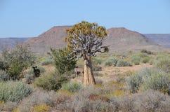 Kołczanu drzewo, Augrabies Spada park narodowy, Południowa Afryka Obrazy Stock