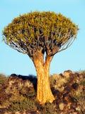 Kołczanu drzewo na Skalistym wzgórzu na zewnątrz Keetmanshoop, Namibia Obrazy Royalty Free