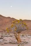 Kołczanu drzewo w pełnym kwiacie pod księżyc w pełni Fotografia Stock