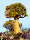Kołczanu drzewo z Towarzyskim gniazdeczkiem na Skalistym wzgórzu na zewnątrz Keetmanshoop, Namibia Obraz Royalty Free