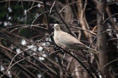 Kołnierzasta gołąbka w drzewie Fotografia Stock