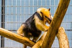 Kołnierzasty anteater pięcie w drzewnym, tropikalnym zwierzęciu od Ameryka, obraz royalty free
