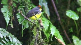 Kołnierzasty Redstart w obłocznym lesie Costa Rica (Myioborus torquatus) zbiory