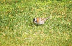 kołnierzasty sparrow ryży Obrazy Royalty Free