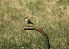 kołnierzasty sparrow ryży Obraz Royalty Free