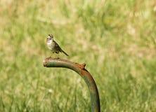 kołnierzasty sparrow ryży Fotografia Royalty Free