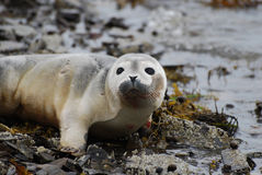 Kołtuński kubek dziecko foka na Skalistej plaży Zdjęcia Stock