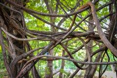 Kołtuniaści powietrzni korzenie drzewo Zdjęcia Stock