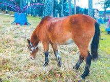 Koń żuć wysuszonej trawy na terytorium miasto park obrazy royalty free