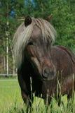 koń amerykańska miniatura Zdjęcia Royalty Free