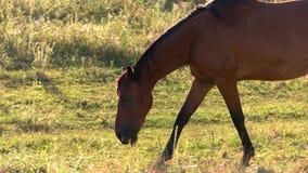 Koń chodzi na trawie zbiory