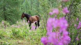 Koń chodzi w lesie dokąd kwitnący sally r zbiory