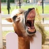 Koń czeka z otwartym usta jeść Zdjęcia Stock