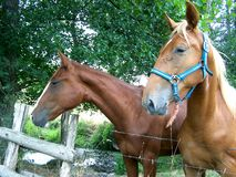 Koń, dwa koni ciekawy spojrzenie przy ich środowiskiem zdjęcia royalty free