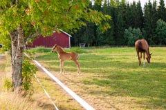 Koń i źrebię na gospodarstwie rolnym Zdjęcia Stock