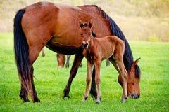 Koń i źrebię w łące Zdjęcie Royalty Free