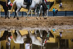 Koń i reflextion na kałuży podczas sesi equestriani Obrazy Royalty Free