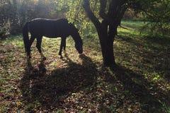 koń i swój cień Zdjęcie Stock