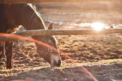 koń jedzenia Fotografia Stock