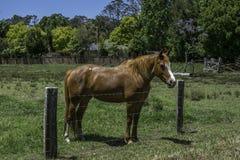Koń, kasztan fechtujący się w padoku zdjęcia stock
