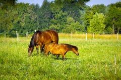 koń mały Fotografia Stock