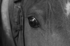 Koń - monochrom zdjęcia royalty free