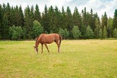 Koń na gospodarstwie rolnym Obraz Royalty Free