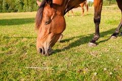 Koń na gospodarstwie rolnym Obrazy Royalty Free