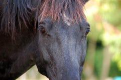 Koń na naturze czarny koński portret Obrazy Stock