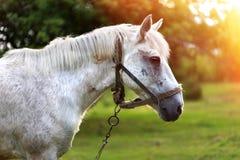 Koń na naturze Koński portret Fotografia Stock