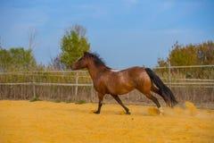 Koń na naturze Portret koński, brown koń, obraz stock