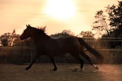 Koń na naturze Portret koński, brown koń, obrazy royalty free
