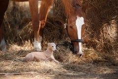 Koń na naturze Portret koński, brown koń, koni stojaki w padoku fotografia royalty free
