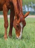 Koń na paśniku Obraz Royalty Free