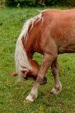 Koń na paśniku zdjęcia stock