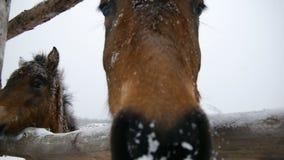 Koń obwąchuje obiektyw Zakończenie zbiory wideo