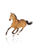 koń odizolowywający Fotografia Stock