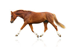 koń odizolowywający Zdjęcie Stock