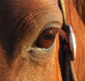 koń oko Zdjęcia Royalty Free