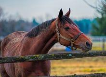 koń płotu wyglądać Fotografia Stock