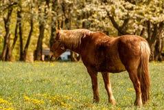 Koń pasa w łące obraz stock