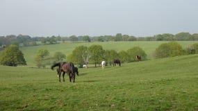 Koń 13 pasa w Angielskim paśniku na pięknym ranku fotografia stock