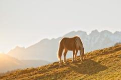 Koń pasa w halnej łące na Alps Obraz Stock