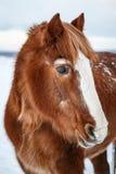 Koń patrzeje w odległość w zimie obrazy stock