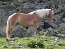 Koń po środku gór Zdjęcia Stock