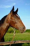 koń pola zieleni koń Fotografia Royalty Free