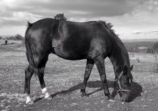 Koń przy łąką Zdjęcie Royalty Free