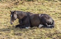 Koń przy łąką Zdjęcia Royalty Free