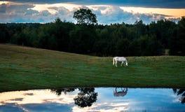 Koń Przy wschodu słońca odbiciem w Stawowym niebieskim niebie obrazy stock