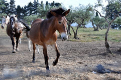 koń trochę Fotografia Stock
